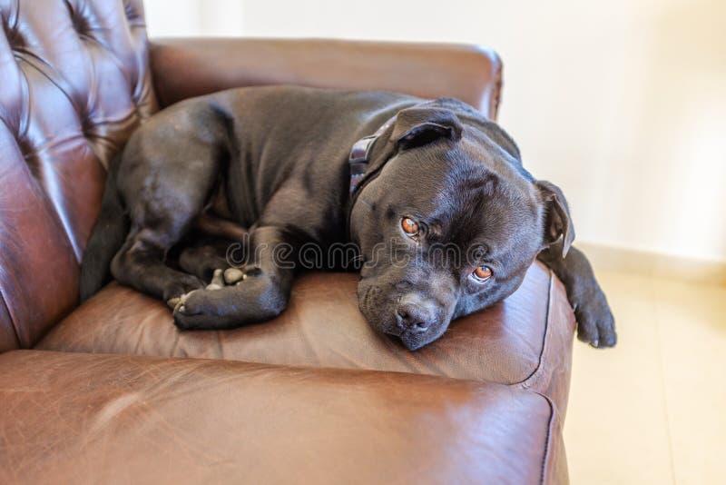 Schwarzes Staffordshire-Bullterrierhundestillstehen oben gekräuselt auf einem leat stockfotos