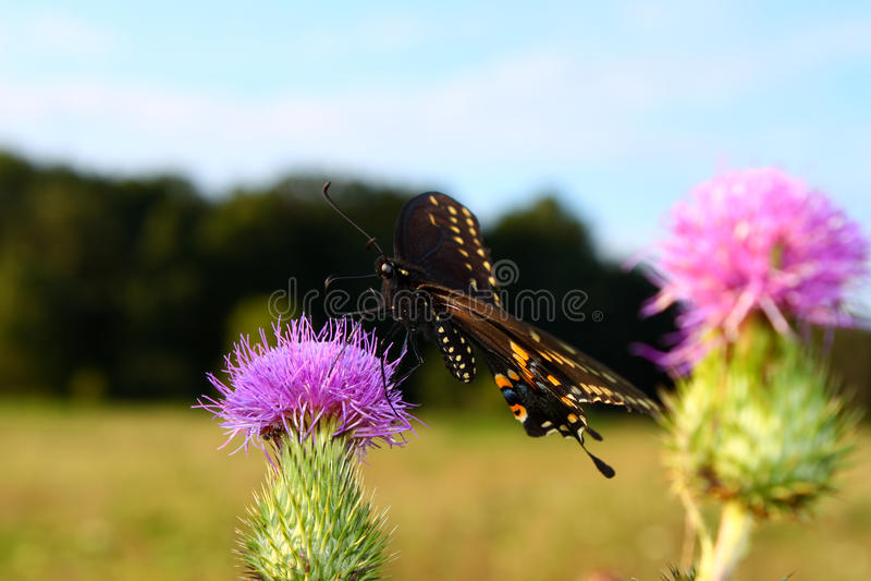 Schwarzes Swallowtail (Papilio polyxenes) stockbild