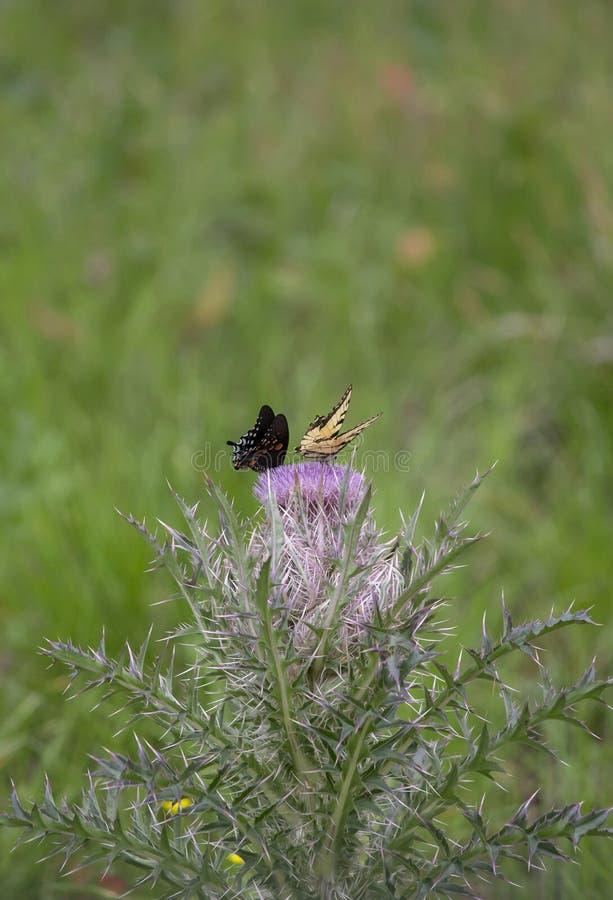 Schwarzes swallowtail und Osttiger swallowtail Schmetterlinge stockbilder