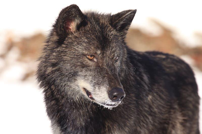 Schwarzes Timberwolfporträt lizenzfreies stockbild