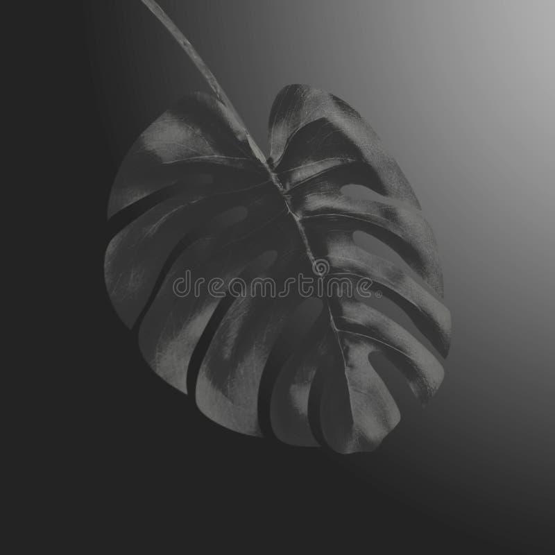 Schwarzes tropisches Monstera-Blatt am schwarzen Steigungshintergrund Kreativer exotischer botanischer Entwurf Schablone für Luxu vektor abbildung