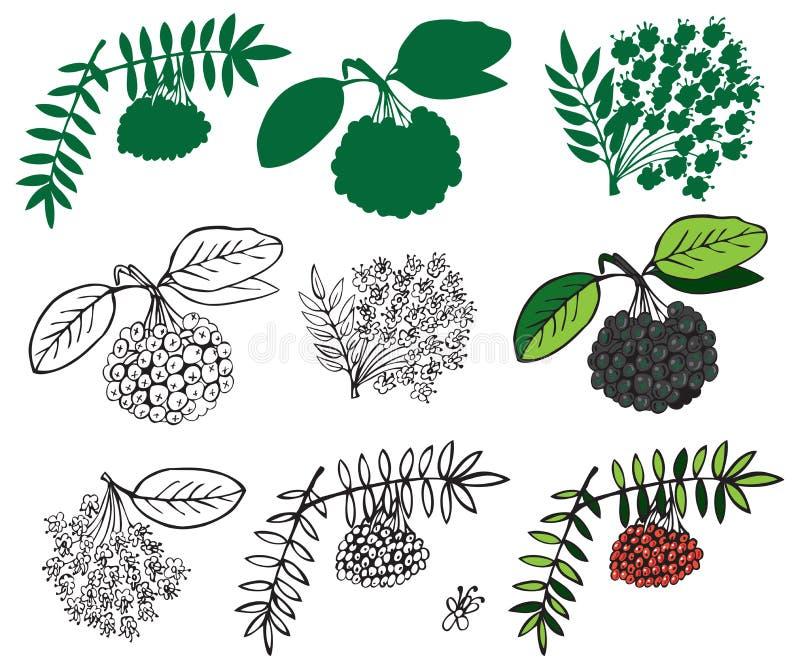 Schwarzes und rotes ashberry lizenzfreie abbildung