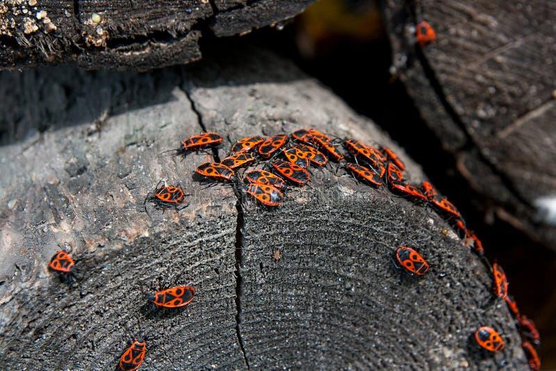 Schwarzes und rotes Brandstifter oder Pyrrhocoris-apterus, auf einem alten Baum trun lizenzfreies stockbild