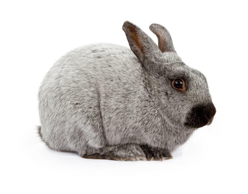 Schwarzes und silbernes Marder-Kaninchen getrennt auf Weiß stockfotos