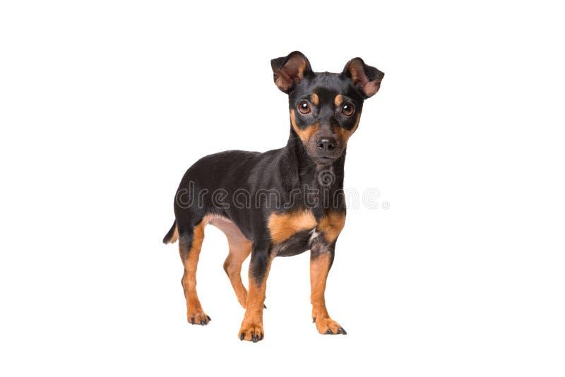 Schwarzes und Terrier Tan-Jack Russel lizenzfreies stockbild