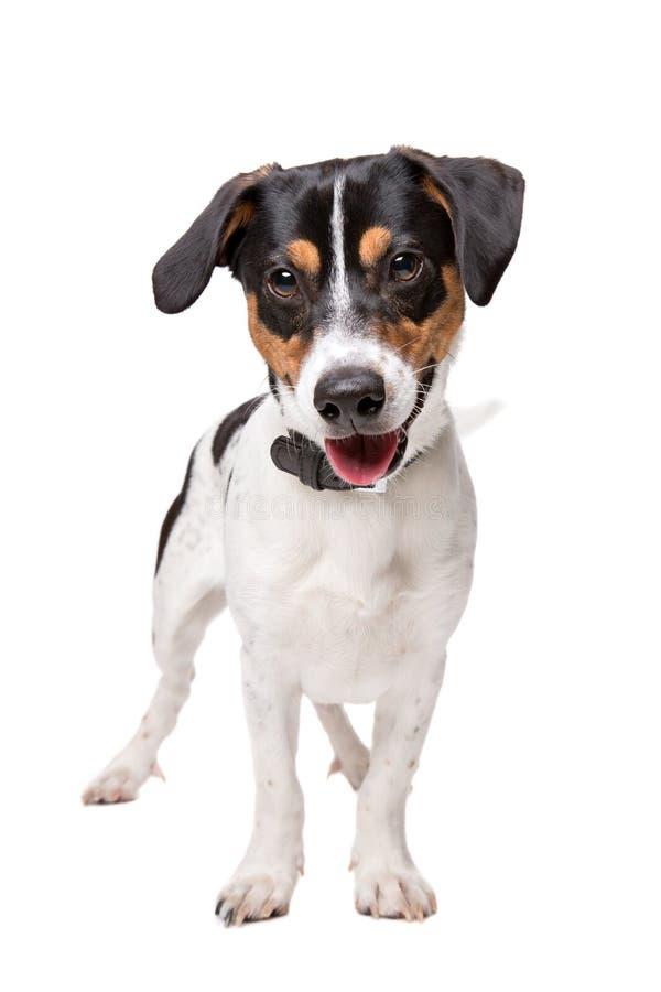 Schwarzes und Terrier Tan-Jack Russel lizenzfreies stockfoto