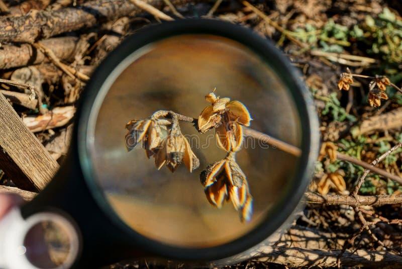 Schwarzes Vergrößerungsglas erhöht trockene braune Anlage mit den Knospen draußen in der Natur stockfotos
