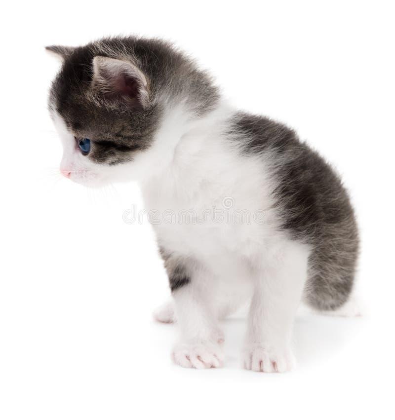 Schwarzes weißes Kätzchen lizenzfreie stockfotografie