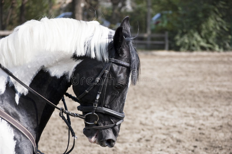 Schwarzes weißes Pferd lizenzfreie stockfotos