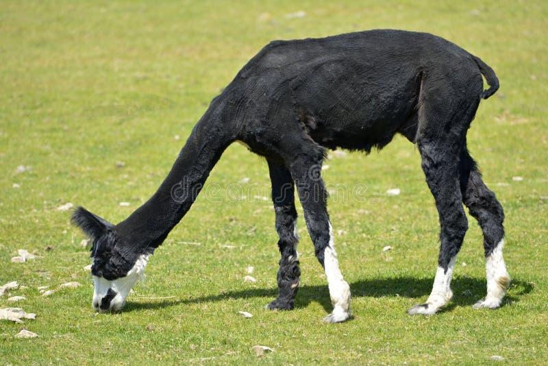 Schwarzes weiden lassendes Alpaka lizenzfreie stockfotos
