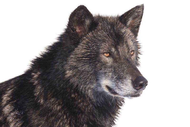 Schwarzes Wolfseitenporträt lizenzfreie stockbilder