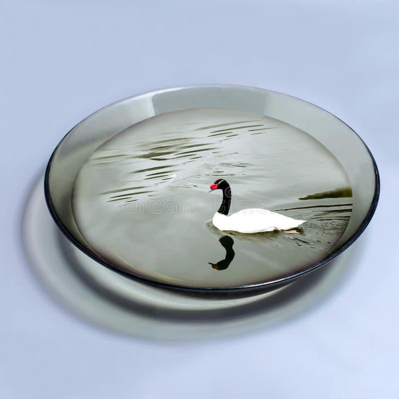 Schwarzhalsschwan schwimmt in Schüssel mit Wasser stockbild