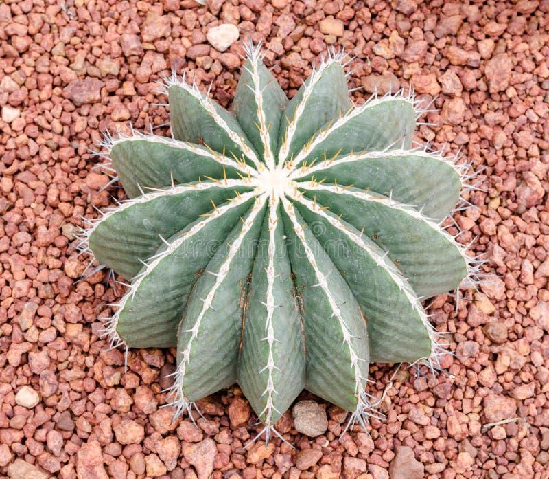 Schwarzii Lindsay, cactus del Ferocactus fotografía de archivo