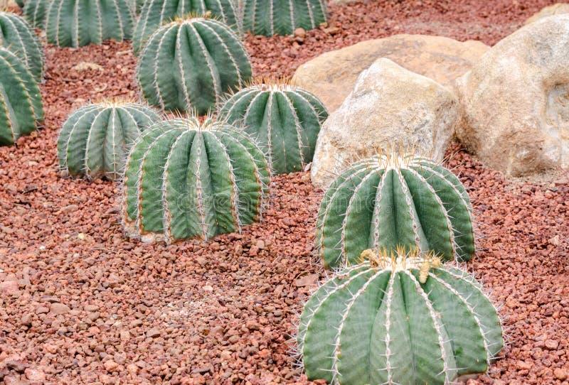 Schwarzii Lindsay, grupo del Ferocactus del cactus foto de archivo