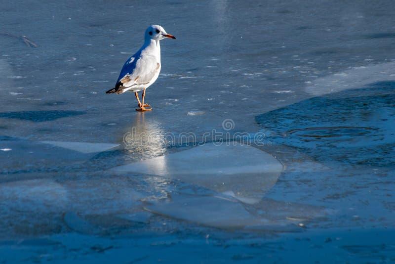Schwarzköpfige Seemöwe chroicocephalus ridibundus Stellung am Rand eines gefrorenen Sees im Winter stockbilder