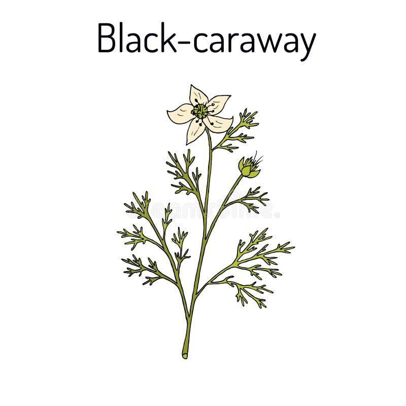 Schwarzkümmel, Nigella Sativa, Heilpflanze stock abbildung