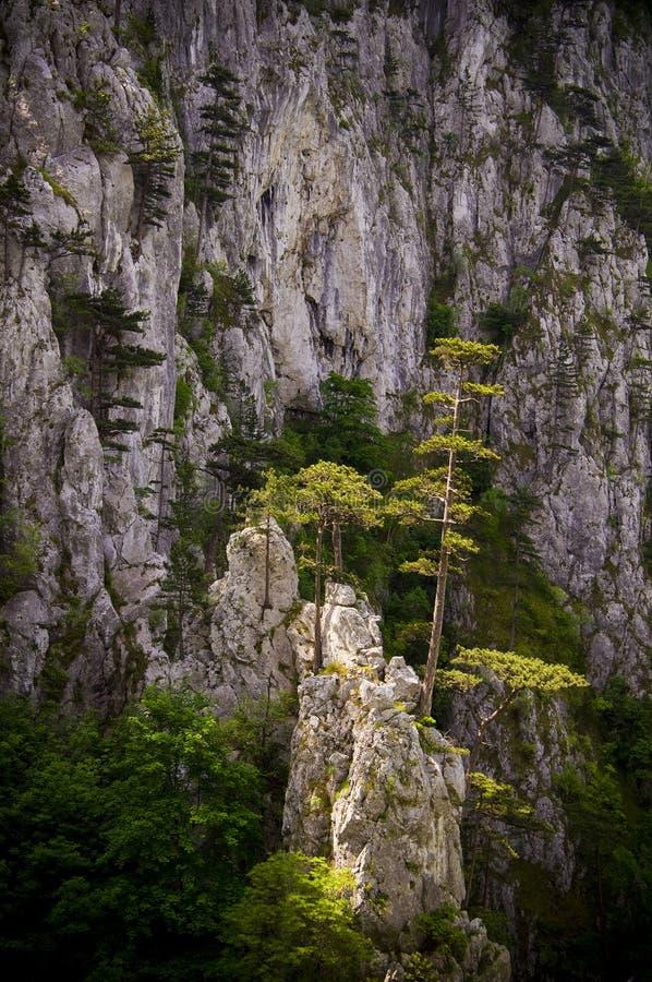 Schwarzkiefer-Bäume und Felsen stockfotografie
