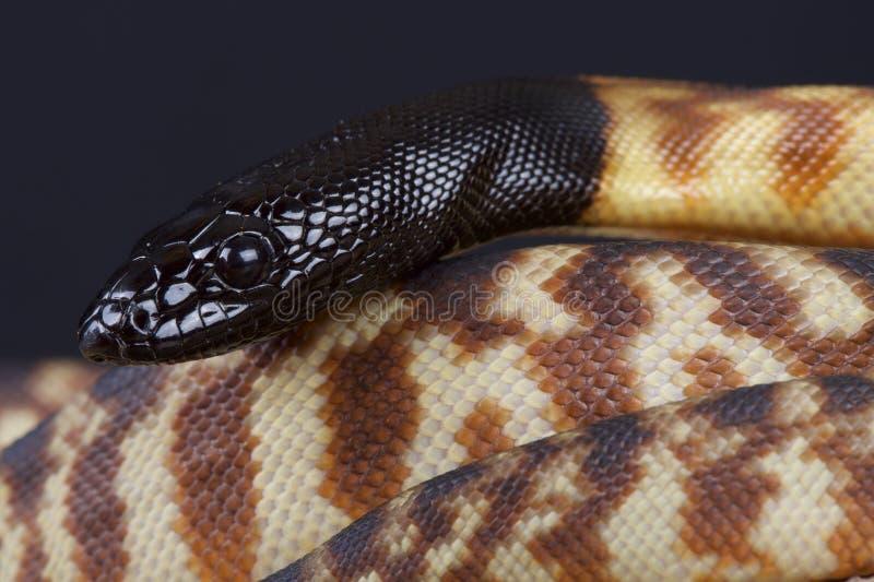 Schwarzkopfpython/Aspidites-melanocephalus stockbild