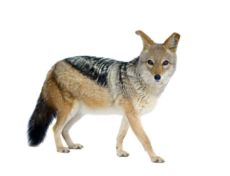 Schwarzrückige Jackal () - Canis mesomelas lizenzfreies stockfoto