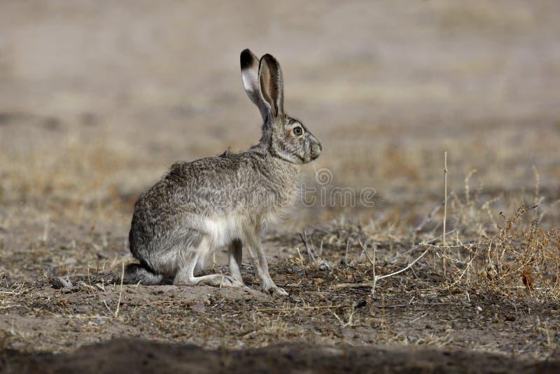 Schwarzschwanziges Steckfassungskaninchen, Lepus californicus lizenzfreies stockfoto