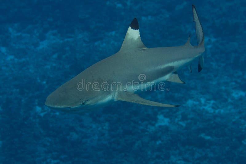 Schwarzspitzen-Riffhai in Bora Bora, Französisch-Polynesien lizenzfreie stockfotos