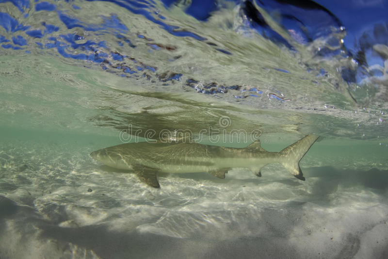 Schwarzspitzen-Riffhai Carcharhinus melanopterus Schwimmen an shal stockfoto