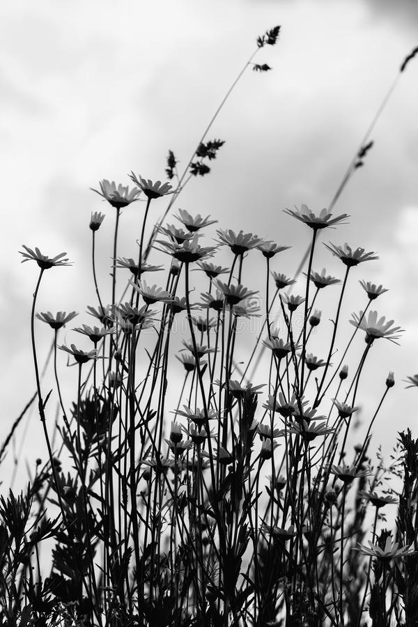 Schwarzweißbild des windigen Tages des Sommers nach Regen, düsterer Himmel Schöne weiße camomiles gegen dunkelblauen Himmel mit stockbild