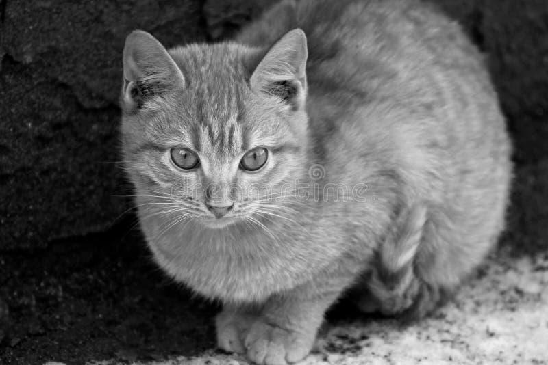 Schwarzweißbild eines Kätzchens lizenzfreie stockfotografie