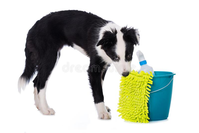 Cute border collie puppy with cleaning utensils royalty free stock image