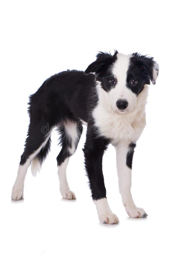 Cute border collie puppy standing on white background royalty free stock photo