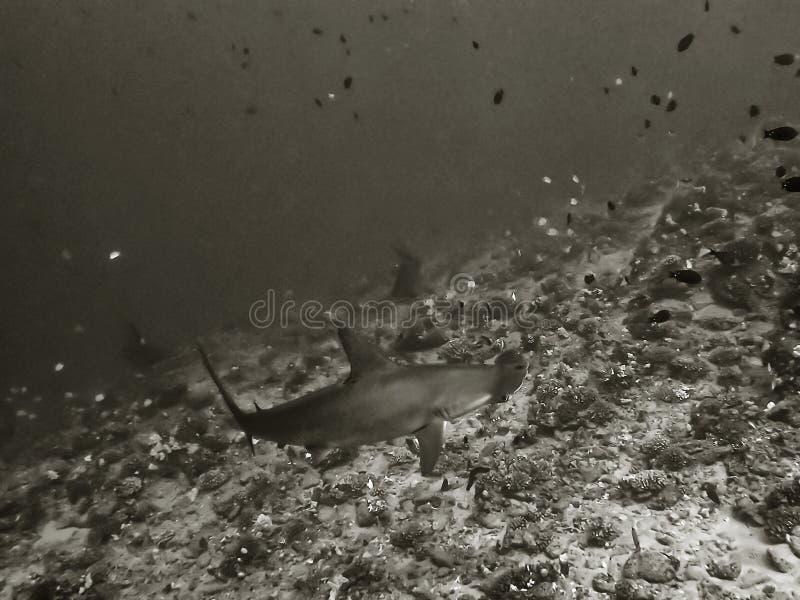 Schwarzweiss-Abschluss-oben ausgebogter Hammerhai-Haifisch lizenzfreie stockfotos