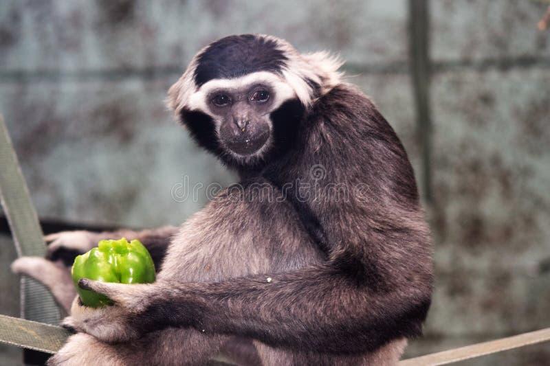 Schwarzweiss-Affe, der einen grünen Paprika isst stockfotos