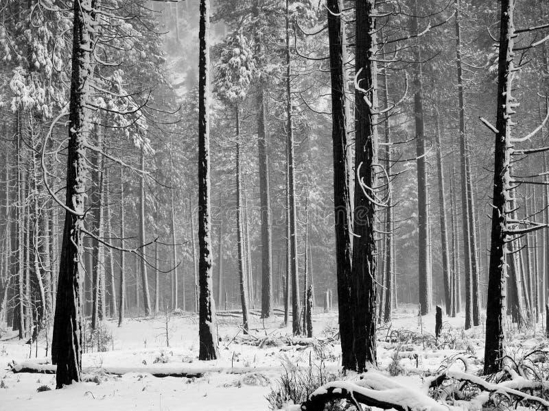 Schwarzweiss-Aspen-Bäume lizenzfreie stockbilder