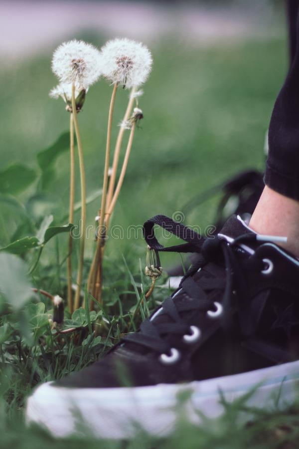 Schwarzweiss-Bärte nahe dem Löwenzahn lizenzfreie stockfotografie