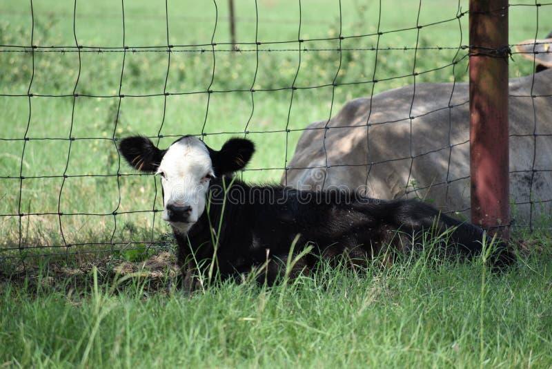 Schwarzweiss-Baby Angus-Kalb stockfotos