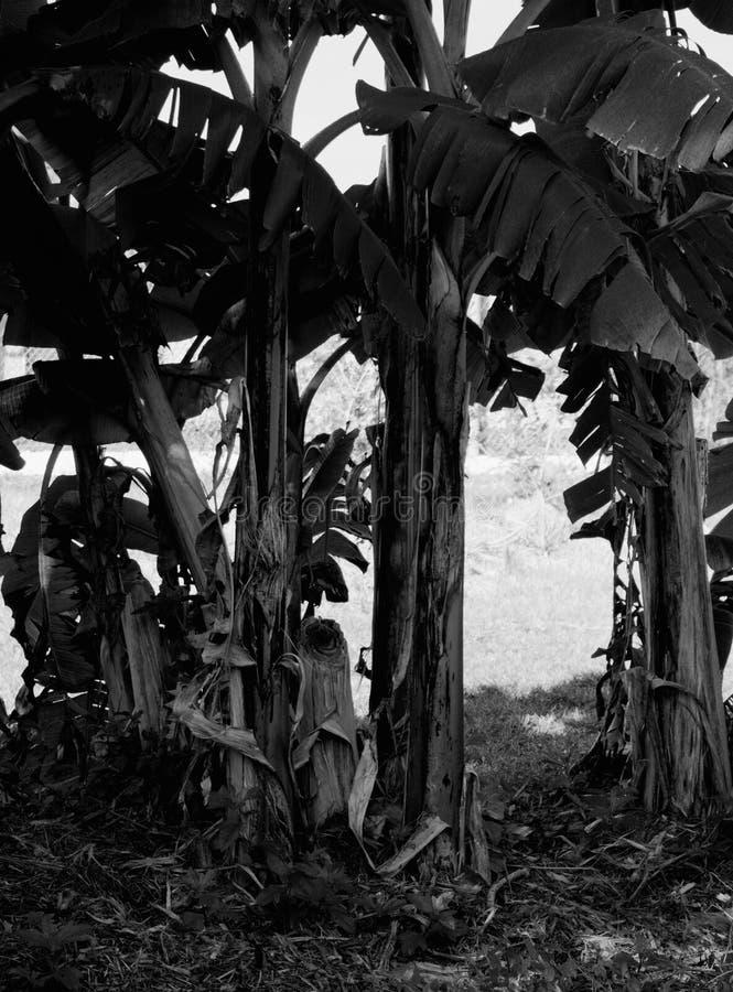 Schwarzweiss-Bananenlocke stockfotos