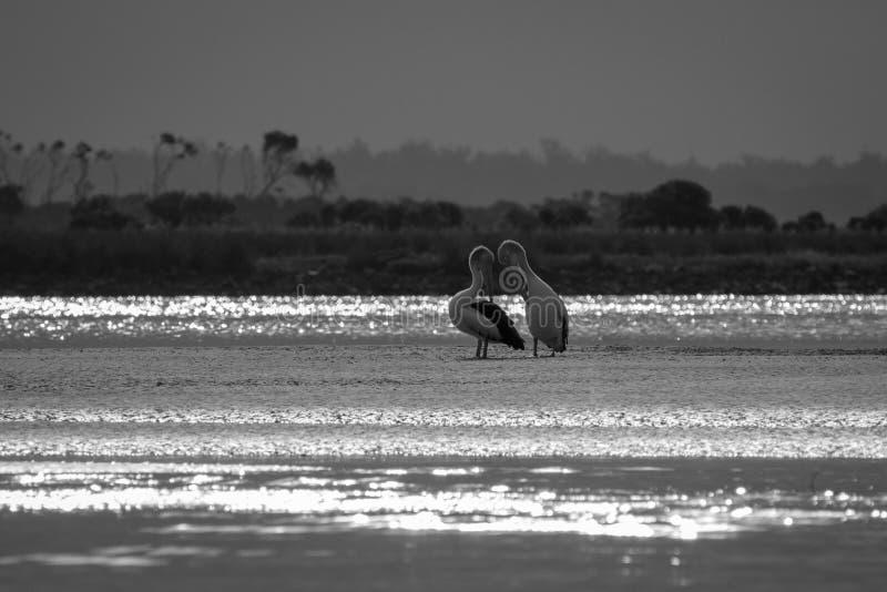 Schwarzweiss-Bild der schwermütigen Mündung mit Pelikanen lizenzfreies stockfoto