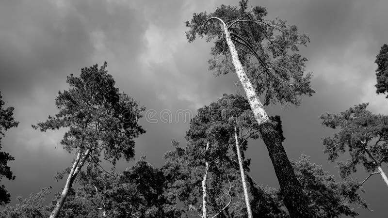 Schwarzweiss-Bild des alten Kieferwaldes vor schwerem Sturmregen Schöne Landschaft der Natur vor Regen stockfotografie