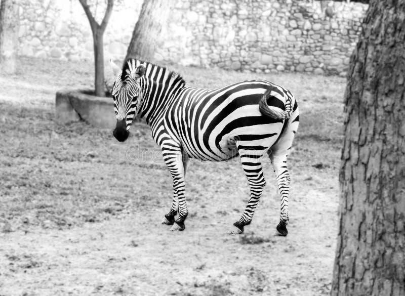 Schwarzweiss-Bild des einsamen Zebras weiden lassend auf dem Gebiet am Zoo stockbild