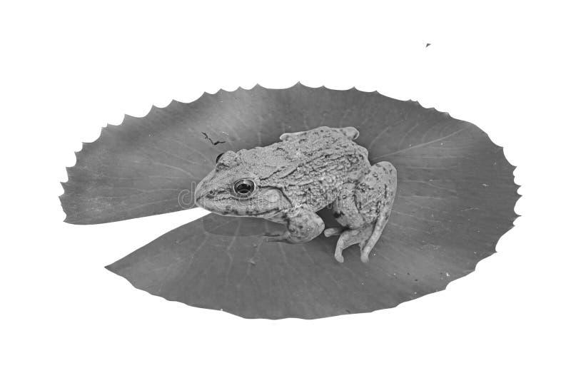 Schwarzweiss-Bild des Frosches auf dem Blatt stockfotos