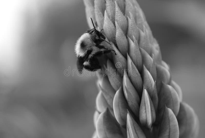Schwarzweiss-Bild einer Hummel auf Lupine stockfotografie
