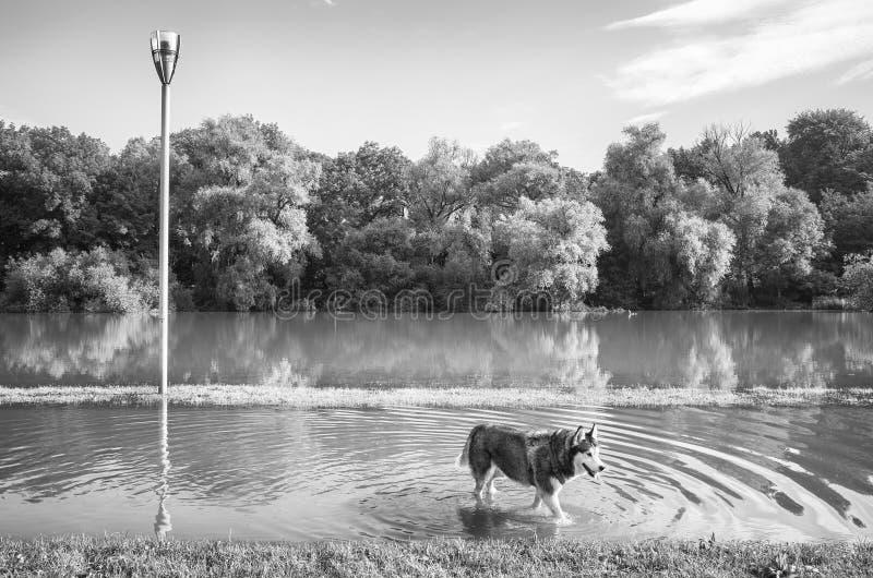 Schwarzweiss-Bild eines heiseren Hundes in einem Park stockfotos