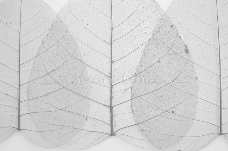 Schwarzweiss-Bild von Bantambaumblattadern stockbild