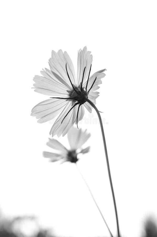 Schwarzweiss-Blume auf einem Schwarzen lizenzfreie stockbilder