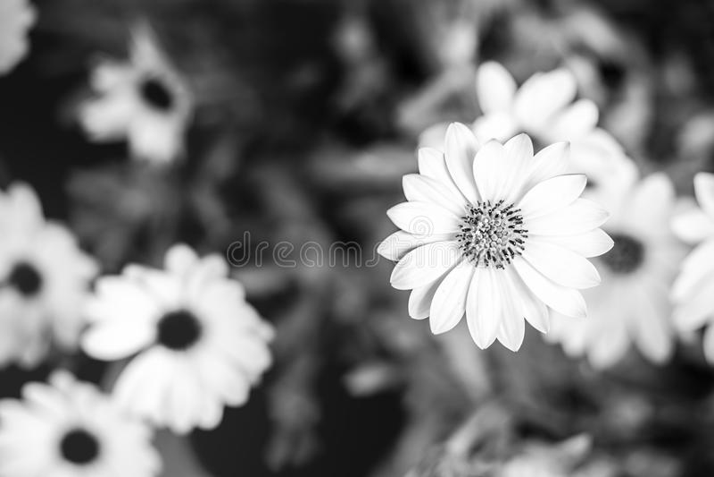 Schwarzweiss-Blumen Auf Bokeh Unscharfem Hintergrund Stockbild ...