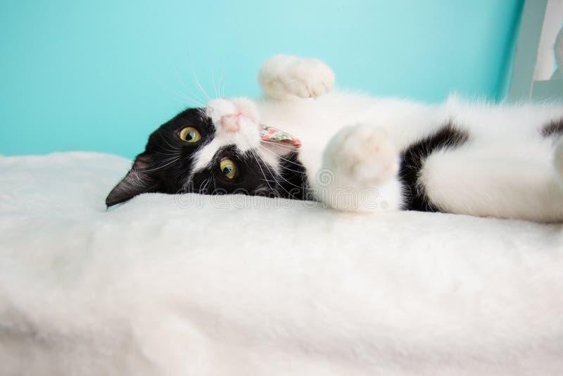 Schwarzweiss--Cat Portrait im Studio und im Tragen einer Fliege stockbilder