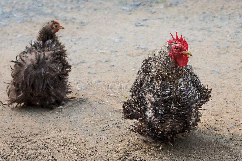 Schwarzweiss--Cochin stockfoto