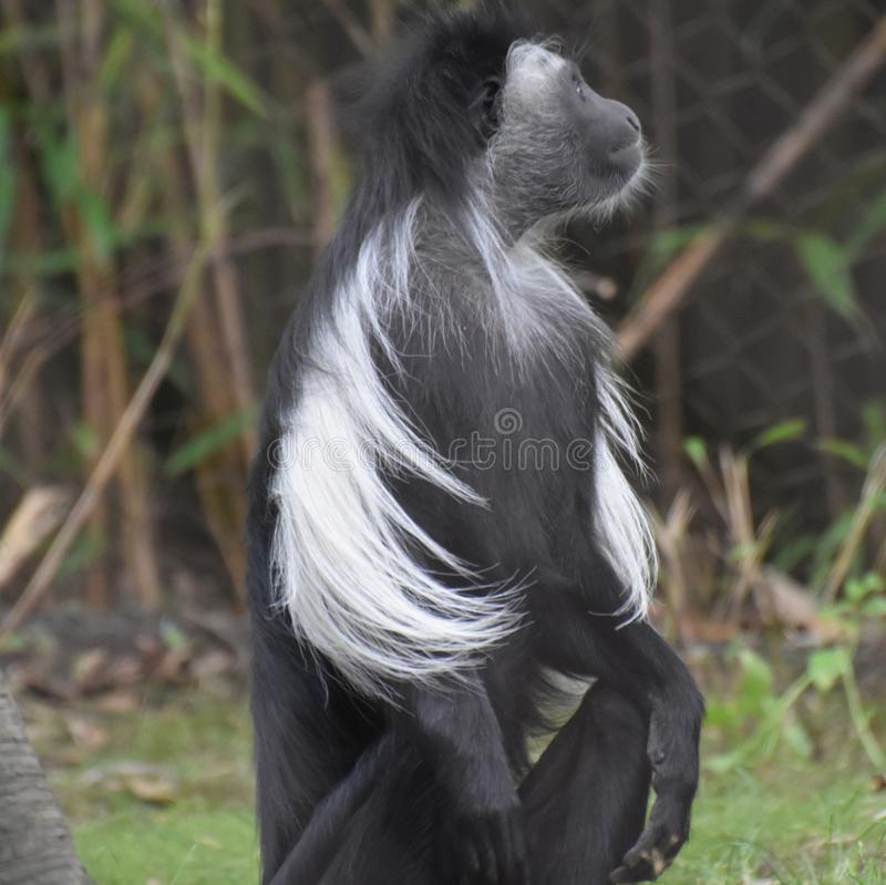 Schwarzweiss-Colobus-Affe, der oben auf seinen Hinterteilen sitzt stockbilder