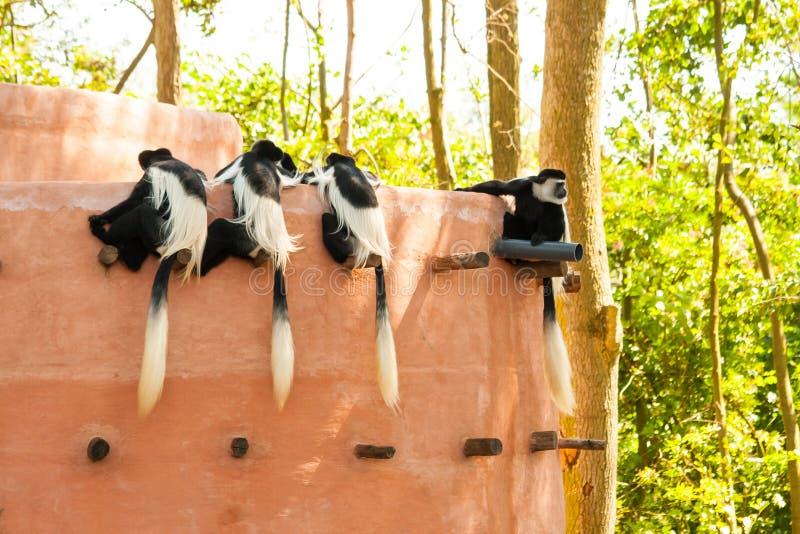 Schwarzweiss-Colobus Colobus guereza Affe lizenzfreie stockbilder