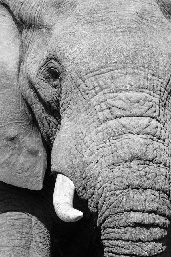 Schwarzweiss-Elefantporträt stockfotos